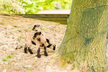 Biggis Jodlerstübchen - Ziegen